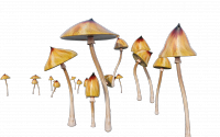 A photo illustration of psychedelic mushrooms.