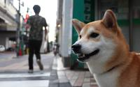 "A Shiba Inu, the basis for the ""doge"" meme."